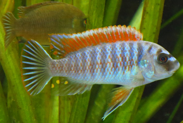 "Labeotropheus fuelleborni ""Makanjila red top"""