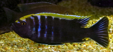"Microchromis aurifrons ""Luwino Reef"""