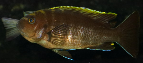 Картинки по запросу microchromis aurifrons