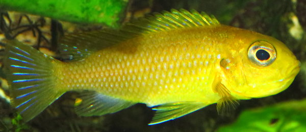 "Tropheops ""yellow/yellow Gallileya Reef"" alias Tropheops ""macrophthalmus chitimba Gallileya Reef"""