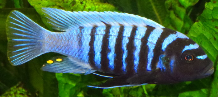 "Maylandia zebra ""Thumbi West"""
